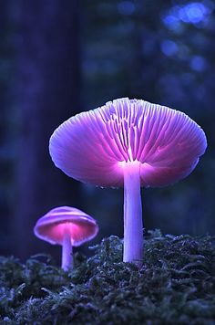 Glowing lavender mushrooms...watch for the fairies reading nighttime stories to the woodland creatures!