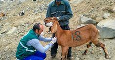 Senasa vacuna a más de 10 mil animales ante aparición de Brucelosis en Áncash - LaRepública.pe