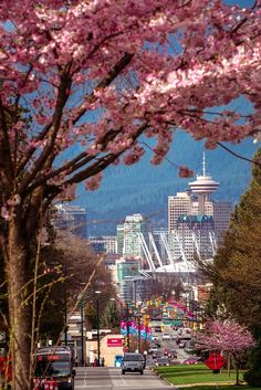 BC - Vancouver downtown view on Cambie St. with lots of cherry blossoms blooming in spring.