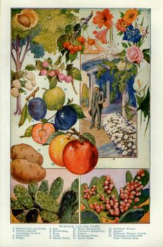 Antique Print Luther Burbank Fruit and by VintageInclination