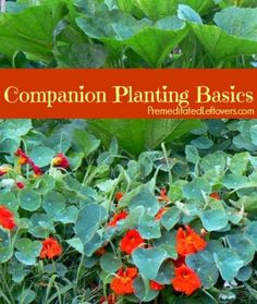 Companion Planting Basics - Tips for using Companion Plants in your garden. Includes a list of great combinations of companion plants.