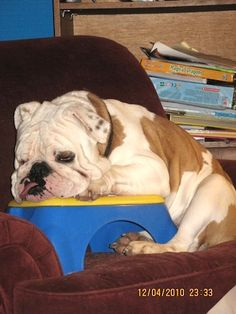 """This is Duke. His family put the step stool on the armchair to keep him from getting up on it. However, as determined as Duke is, he decided NOTHING was going to stop him from sleeping on """"HIS"""" chair!"""