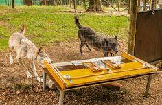 Jochen Ebmeier: Domestikation: Wölfe kooperieren besser als Hunde....