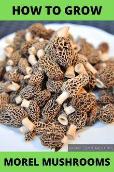 Hunting for morel mushrooms in the spring becomes a sort of mythical quest for those who crave the meaty flavor of these forest dwellers. Growing Morel Mushrooms, Edible Wild Mushrooms, Stuffed Mushrooms, Morel Mushroom Recipes, Mushroom Fungi, Moral Mushrooms, Hunts Recipe, Mushroom Cultivation, Shade Garden Plants