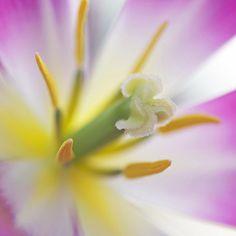 Encore by Lala Lands, via Flickr. Spring tulip, pistil and stamen.