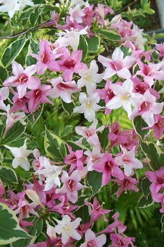 Weigela Gold Rush - Photo by Lisa