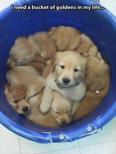 Funny pictures about Bucket Of Goldens. Oh, and cool pics about Bucket Of Goldens. Also, Bucket Of Goldens photos. Animals And Pets, Baby Animals, Funny Animals, Cute Animals, Cute Puppies, Cute Dogs, Dogs And Puppies, Doggies, Puppies