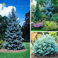 20 seeds /bag Home Garden Plant   Colorado sky Blue Spruce Picea Pungens Glauca Tree Seeds sementes perennial seeds