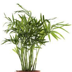 Plante dépolluante palme bambou