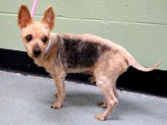 SAFE --- SUPER URGENT 5/11/14  Manhattan Center    TANGO aka DISREGARD - A0715773 (Alternate ID#: A0999407)  *** RETURNED ON 5/11/14 *** SAFER: EXPERIENCED HOME NO CHILDREN ***   NEUTERED MALE, TAN / SILVER, YORKSHIRE TERR MIX, 11 yrs  STRAY - ONHOLDHERE, HOLD FOR OWNER DIED  Reason OWNER DIED   Intake condition NONE Intake Date 05/11/2014, From NY 10461, https://www.facebook.com/photo.php?fbid=809298609083020&set=a.617942388218644.1073741870.152876678058553&type=3&permPage=1