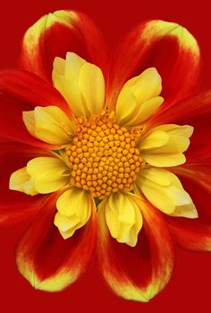 Flower Macro - red, yellow