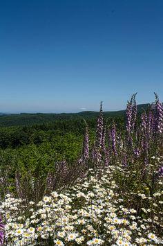 Forest land, Northwest Oregon. [2571 x 3874]   ♡♡♡ Foxgloves!! ♡♡♡