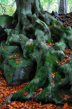 Beech Tree Roots, near Derbyshire, Peak District National Park, England
