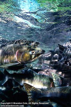 Pink Salmon (Oncorhynchus gorbuscha)