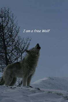Let the wolves run free don't hurt them or shoot them!!!! It's all wrong!!! save the wolves!