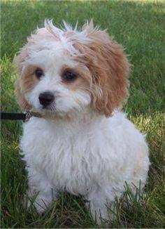 Google Image Result for https://puppydogweb.com/gallery/cavachons/cavachon_valter.jpg