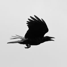 crows flying tattoo | Crow Flying Silhouette