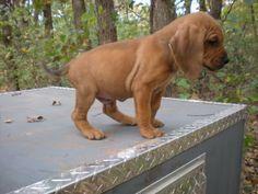 Majestic Tree Hound (Bloodhound-Coonhound Mix) Info and ... #bloodhound puppies