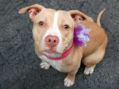 TO BE DESTROYED - SUNDAY - 4/13/14 Manhattan Center   LUCY - A0995675  *** SAFER: EXPERIENCED HOME ***  FEMALE, TAN / BROWN, PIT BULL MIX, 2 yrs, 3 mos STRAY - EVALUATE, NO HOLD Reason STRAY  Intake condition NONE Intake Date 04/04/2014, From NY 11207, DueOut Date 04/07/2014,  https://www.facebook.com/photo.php?fbid=784985691514312&set=a.617938651552351.1073741868.152876678058553&type=3&theater