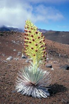 The beautiful Silversword plant that grows on volcanic cinder. You see them all over Haleakala Crater, Maui