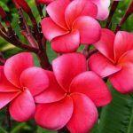 20 Manfaat Kamboja Merah untuk Kesehatan Kecantikan dan Manfaat Lainnya