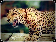 Tiger @batu secret zoo