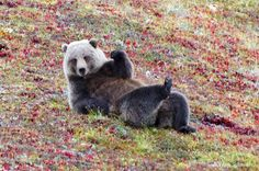 A grizzly bear chilling in Denali National Park, Alaska.