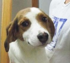 Adele is an adoptable Foxhound Dog in Brookfield, WI.