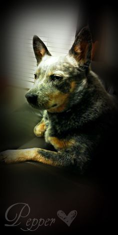 Our Blue Heeler. The PERFECT Heeler. We did not even have to house break her!