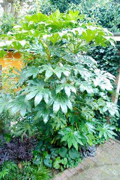 vingerplant, oftewel Fatsia Japonica