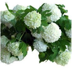 Viburnum Snowball White Flower - looks like a mini hydrangea. April wedding = $200 for 80 stems