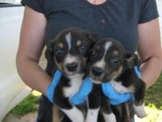 Quartet Pups is an adoptable Terrier Dog in Chipley, FL. There were 4 in this litter. The two males, pictured here are tri colored and look like bermese mixes but not sure. They are only about 6-7 wee...