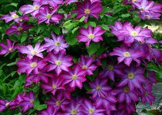 Clematis, una excepcional trepadora resistente a la sequía - http://www.jardineriaon.com/clematis-una-excepcional-trepadora-resistente-a-la-sequia.html