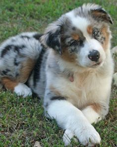 Ann and I will get matching puppies just like this guy! Australian Shepherd Husky, Australian Shepherds, Aussie Puppies, Cute Puppies, Cute Dogs, Dogs And Puppies, Doggies, Awesome Dogs, Animals And Pets