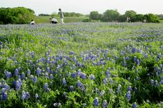 Taking family photos amid vast fields of bluebonnets is an annual Texas tradition. (Richard S. Buse photo)