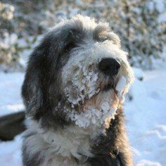 Bearded Collie Collie Puppies, Dogs And Puppies, Dog Bearding, I Love Dogs, Adorable Dogs, Bearded Collie, Animal Magic, Snow Dogs, Lap Dogs
