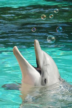 Dolphin playing with bubble's