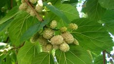 Morus alba, known as white mulberry, is a fast-growing, small to medium-sized mulberry tree which grows to m tall Mulberry Fruit, Mulberry Tree, Types Of Fruit, Fruit Box, In Natura, Home Garden Plants, Edible Plants, Plantation, Planting Seeds