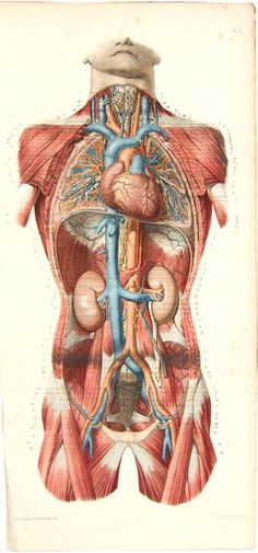 Atlas d'Anatomie Descriptive du Corps Humain 1844-46. ◙ Find more 19th century anatomy: pinterest.com/mediamed/xixth-anatomy/