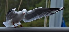 A seagull hovering for a chip at lunch time. Ivory Tavern Tweed Heads NSW