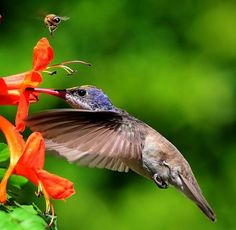 Hummingbird and bee sharing flowers Photo by Franck S Vega -- National Geographic Your Shot