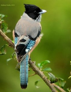 black-headed jay or lanceolated jay (Garrulus lanceolatus), South Asia Kinds Of Birds, All Birds, Love Birds, Pretty Birds, Beautiful Birds, Animals Beautiful, Exotic Birds, Colorful Birds, Bird Pictures