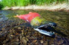 A male sockeye salmon (Oncorhynchus nerka) catches its breath after stranding itself in very shallow water, Hanson Creek, Lake Aleknagik, Bristol Bay, Alaska