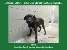***SUPER URGENT!!!*** - PLEASE SAVE ME!! - EU DATE: 7/23/2014 -- marlo  Breed: Labrador Retriever  Age: Young adult Gender: Female  Size: Large,  - animalaidvermilion@gmail.com or (337) 366-0212 or visit our website animalaidvermilionarea.com for more information