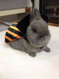 Bunnies in Halloween costumes = extra cute!!! This is Lily and she is a Pet Encounter Therapy at Helen Woodward Animal Center, in San Diego.