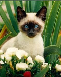 Siamese Cat - Siamese Kittens - Ideas of Siamese Kittens - Siamese kitten in the flowers The post Siamese Cat appeared first on Cat Gig. Siamese Kittens, Cute Cats And Kittens, I Love Cats, Crazy Cats, Kittens Cutest, Tabby Cats, Funny Kittens, Bengal Cats, White Kittens