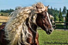 Dante… Black Forest Draft Horse