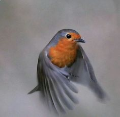 Robin in flight..