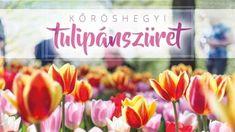 Tulipánszüret 2020 Kőröshegy