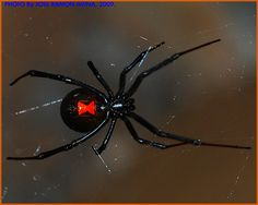 Black Widow Spider......got bit by one of these when I was in my late 30s........it was one of the worst......if not the worst bouts of illness I have ever had.